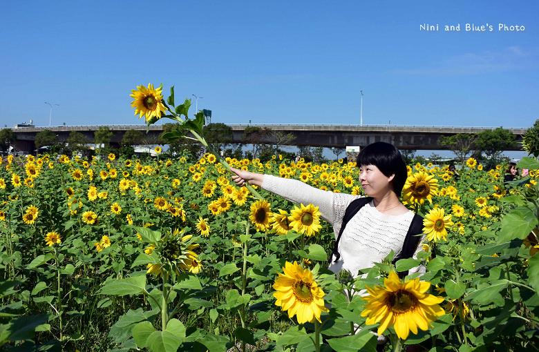 中投草商向日葵花田20