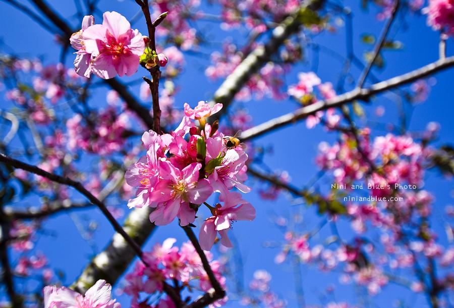 芬園花卉休憩園區-櫻花園區.台中櫻花